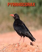 Pyrrhocorax