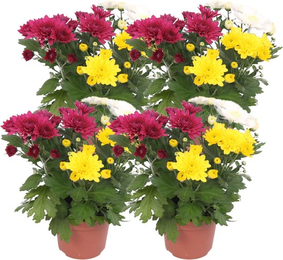 ZynesFlora   Chrysabella Carnaval - 4 Stuks - Potchrysant - Ø 12 cm - ↕ Hoogte: 25 cm – Chrysant - Tuinplant - Terrasplant - Kamerplant - Geel/rood/wit