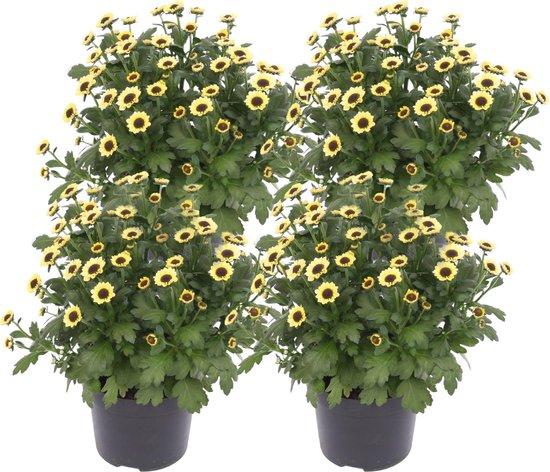 ZynesFlora   Chrysabella Yin Yang - 4 Stuks - Potchrysant - Ø 12 cm - ↕ Hoogte: 25 cm – Chrysant - Tuinplant - Terrasplant - Kamerplant - Geel/zwart