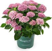 Hortensia tuinplant - Magical ® - Revolution - roze - 5 liter