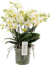 Bellissimo Wit Orchidee Cadeau