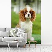 Fotobehang vinyl - Cavalier King Charles-spaniël breedte 215 cm x hoogte 320 cm - Foto print op behang (in 7 formaten beschikbaar)