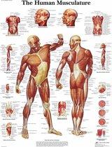 Het menselijk lichaam poster - Spieren poster (Engels, gelamineerd 50x67 cm)  + ophangsysteem