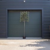 Steeneik leiboom - 'Quercus ilex' 180 cm stamhoogte (10 - 12 cm stamomtrek)