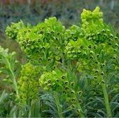 6 x Euphorbia Characias 'Humpty Dumpty' - Wolfsmelk pot 9x9cm