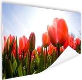 Rode tulpen in de zon Poster 90x60 cm - Foto print op Poster (wanddecoratie woonkamer / slaapkamer) / Bloemen Poster