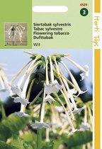 2 stuks Nicotiana Sylvestris wit