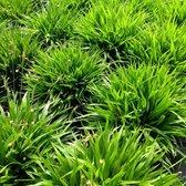 12 x Luzula pilosa Igel - Veldbies in 9x9cm pot (stukprijs €2,99)