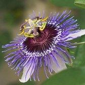 Passiflora Purple Haze 50-60 cm in pot