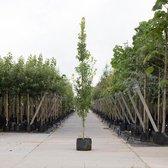 Zuil eik - 'Quercus robur Fastigiate Koster' 200 - 300 cm totaalhoogte (6 - 10 cm stamomtrek)