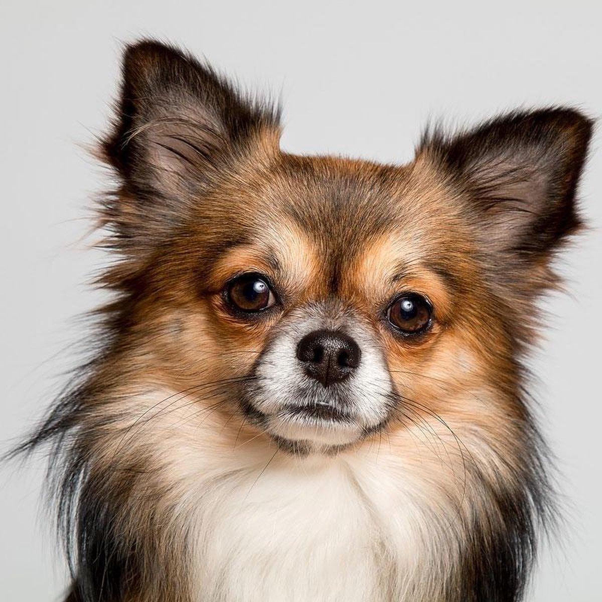 Diamond Painting pakket volwassenen | Chihuahua - 80 x 80 cm | Volledige bedekking met vierkante steentjes | FULL | DP Diamond Paintings