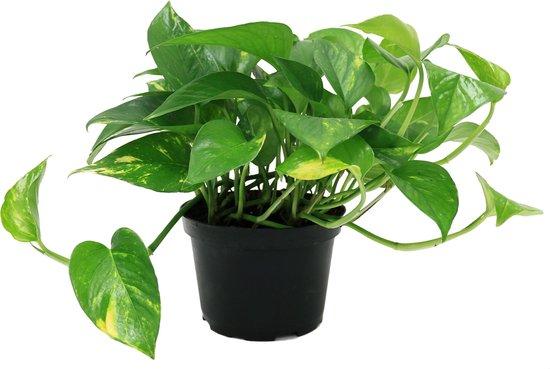 Epipremnum Aureum Hangplant in 12cm kwekers pot