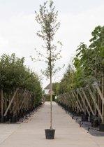 Steeneik - Quercus ilex totaalhoogte 200-250 cm stamomtrek 6-8 cm stamhoogte 168-180 cm