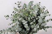 Eucalyptus | 50 - 70 cm lang