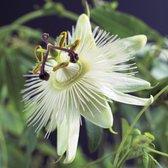 2x Passiflora 'Constance Elliot' - Passiebloem wit - Set van 2 - ↑ 65-75cm - Ø 14cm