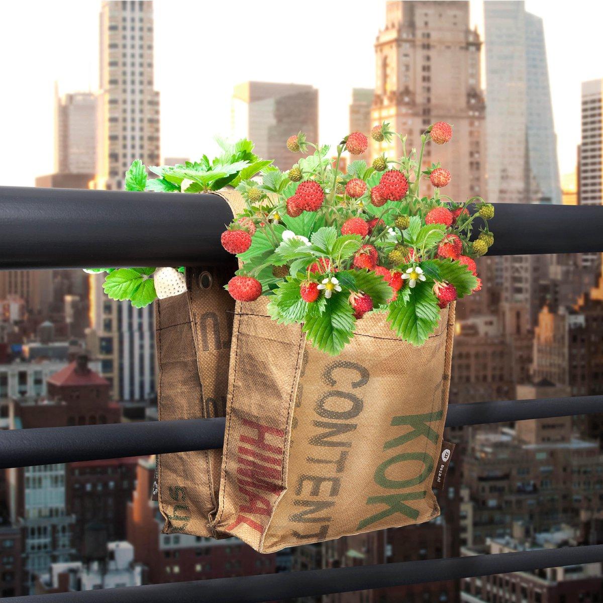 Balkontuin rode en witte Aardbeien kweken