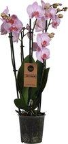 Orchidee | Phalaenopsis 5 tak Roze