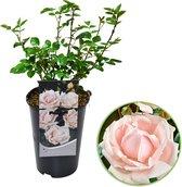 Rosa 'New Dawn'  - Klimroos op pot - Lichtroze - ↑ 35-40cm - Ø 17cm