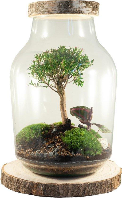 Bol Com Power Of Nature Kant En Klaar Ecosysteem In Glas Boomstam Bonsai Syzygium Buxifolium