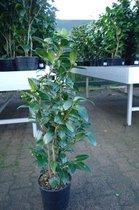 Camellia Japonica in soorten