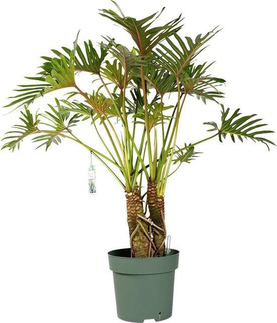 Philodendron Xantal met watermeter | grote groene kamerplant | 140cm hoog met watermeter Ø30cm