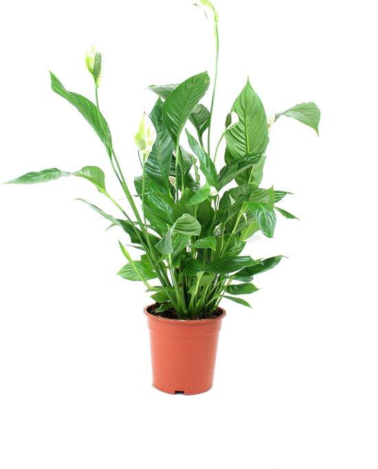 Spathiphyllum (Lepelplant) - Hoogte ↕90 cm | in Kwekerspot ⌀19 cm