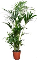 Plant in a Box - Kentia Palm - Howea Forsteriana - kamerplant - Pot ⌀19cm - Hoogte ↕ 90cm - Groen