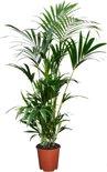 Plant in a Box - Kentia Palm - Howea Forsteriana - kamerplant - Pot ⌀19cm - Hoogte ↕ 90cm