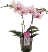 MyMonro Orchidee Cadeau