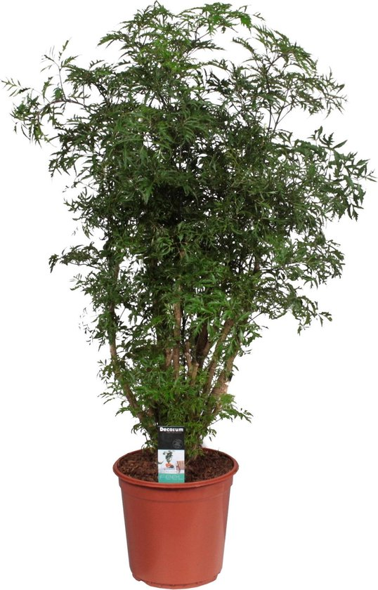 Polyscias 'Hawaiiana Ming' XL - Sterke tropische kamerplant - ↑ 110-120cm - Ø 24cm