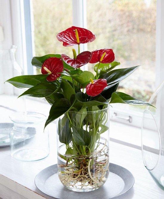Anthurium andreanum - Flamingoplant Roze - Incl. glazen vaas - ↑ 40-45cm - Ø 12cm