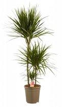 Choice of Green Dracaena Marginata - Kamerplant in kwekerspot - ↑ 125CM - Ø 24CM