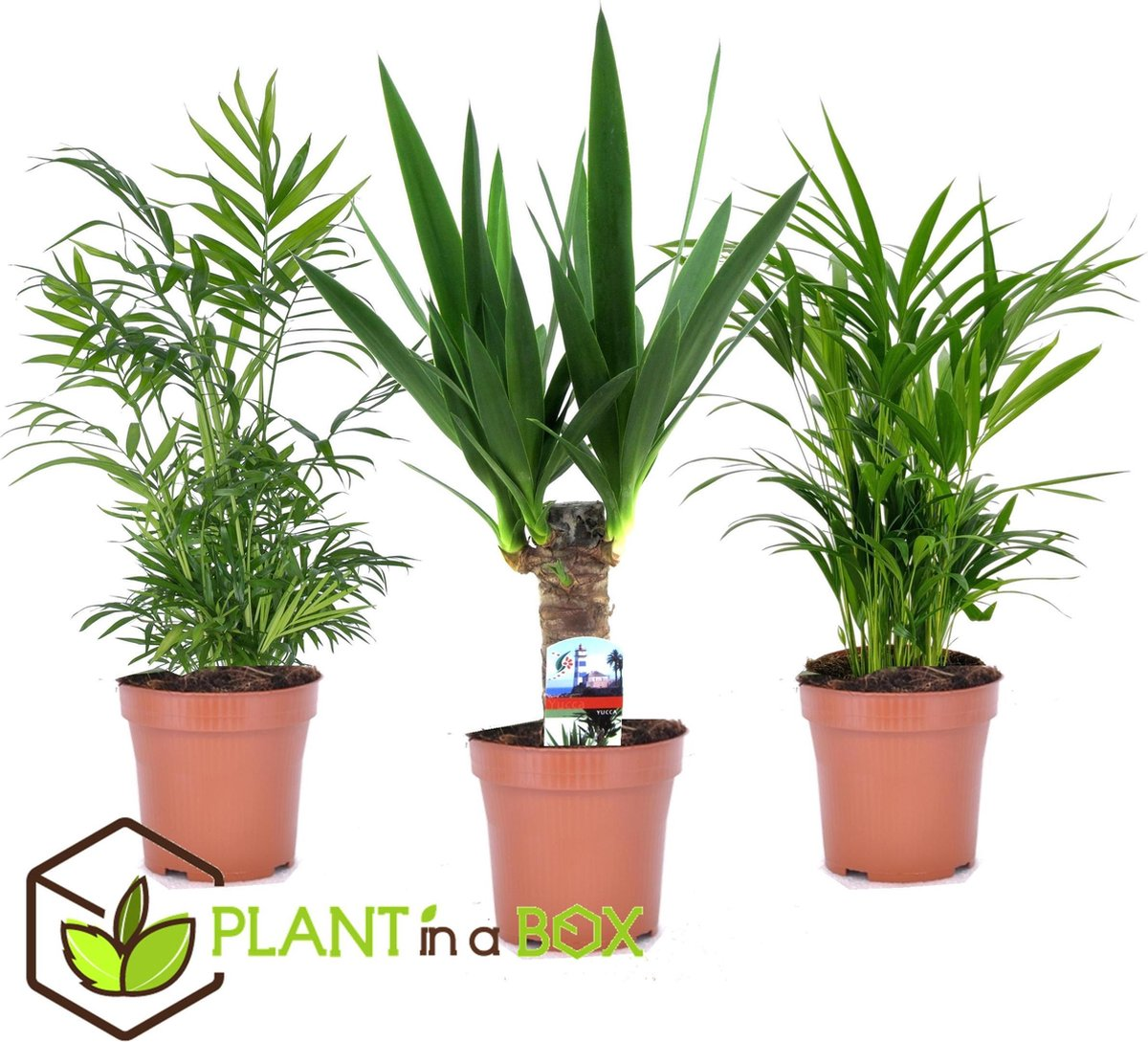 Plant in a Box - Mini Palmen Mix - Set van 3 stuks - Kamerplanten - Pot  12 cm - Hoogte   30-40cm