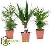 Plant in a Box - Mini Palmen Mix - Set van 3 stuks - Kamerplanten - Pot ⌀12cm - Hoogte ↕ 30-40cm