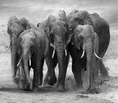 Olifanten familie Fotobehang XXL - 368 x 254 cm - Zwart/Wit