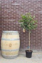 Citroenboom, 150cm, citrus limon
