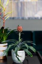 Ananasplant mini | Cariño | 9cm