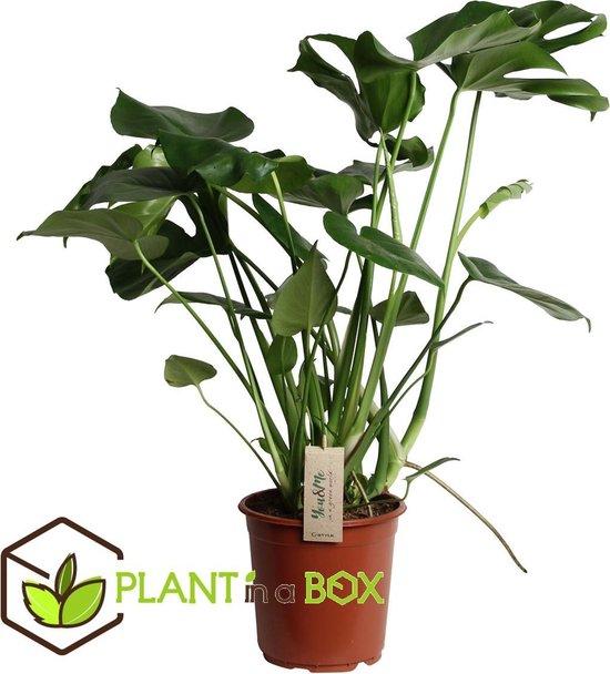 Plant in a Box – Grote Monstera Deliciosa – Gatenplant – Pot ⌀ 21cm – Hoogte ↕ 70-80cm