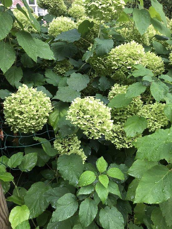 4 x Hydrangea Annabelle - Hortensia in 3 liter pot