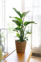 Strelitzia Nicolai inclusief mand - kamerplant in speciale cadeauverpakking - Groen