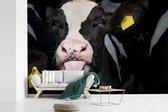 Fotobehang vinyl - Close up van een schattig kalfje van de Friese koe breedte 420 cm x hoogte 280 cm - Foto print op behang (in 7 formaten beschikbaar)