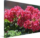 Geranium bloemen in een tuin Canvas 140x90 cm - Foto print op Canvas schilderij (Wanddecoratie woonkamer / slaapkamer)