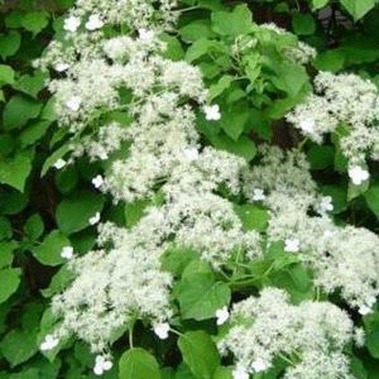 Klimhortensia - Hydrangea Petiolaris | Klimplant - wit