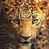 Diamond Painting Kit Portrait of the Leopard AZ-1400