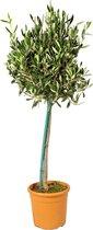 Olijfboom op stam - Olea Europaea per stuk - Buitenplant in kwekerspot ⌀19 cm - Hoogte ↕80-90 cm