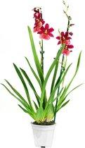 Cambria - Nelly Isler - Orchidee - Geeft Sfeer En Kleur - ↨ 60cm - ⌀ 12cm - [Mama's Planten]