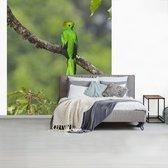 Fotobehang Quetzal - Knalgroene quetzal op  boomtak fotobehang vinyl breedte 275 cm x hoogte 300 cm - Foto print op vinyl behang (in 7 formaten beschikbaar) - slaapkamer/woonkamer/kantoor