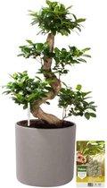 Pokon® Ficus Bonsai / Chinese Vijg incl. watermeter en voeding - in Mica Era Pot Grijs - hoogte ↕70 cm