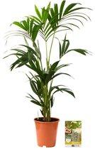 Pokon® Kentia Palm incl. watermeter en voeding - hoogte ↕110 cm