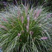 100 x Pennisetum alopecuroides 'Reborn' - Lampenpoetsersgras in 9x9cm pot (stukprijs €3,00)